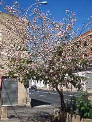 Bauhinia-variegata-porte.jpg