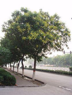 KoelreuteriaPaniculata6.jpg