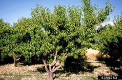 Prunus persica.jpg
