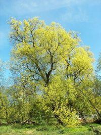 Salix alba 013.jpg