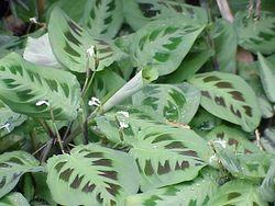 Maranta leuconeura3.jpg