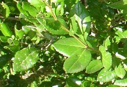 Lomatia dentata-hojas-haz.JPG
