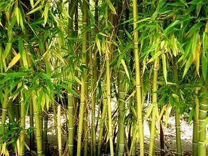 Plantación de bambú [1]