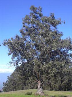 Starr 031214-0076 Eucalyptus globulus.jpg