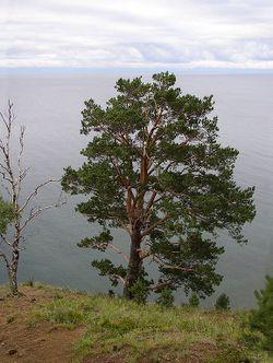 LakeBaikalWithTree.JPG