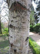 Betula pendula subsp Fontqueri textura del tronco.jpg