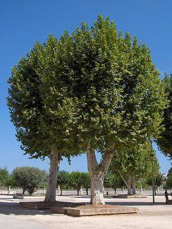 Batalha.Platanus x hispanicus01.jpg