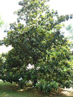 Magnolia grandiflora 01 by Line1.jpg