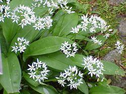Allium ursinum0.jpg