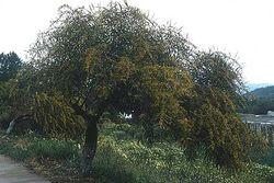 Acacia retinodes.jpg
