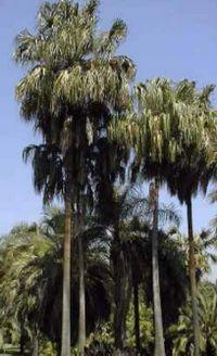 Livistona australis.jpg