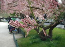 Tamarix-pentandra-flowers.JPG