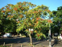 Alianthus altissima Arg.JPG