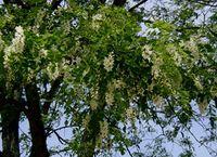Robinia-pseudoacacia.JPG