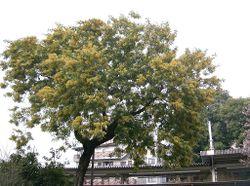 Acacia dealbata1.jpg