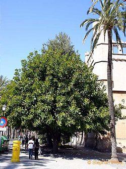 Ficus elastica.jpg