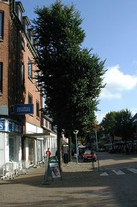 Ulmus-minor-street-tree.JPG