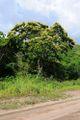 Acacia glomerosa.jpg