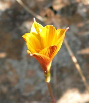 Habranthus tubispathus 1.jpg