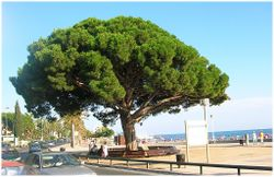 Cambrils Pi Rodo pinus pinea.jpg