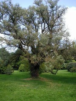 Elaeagnus-angustifolia-habit.JPG
