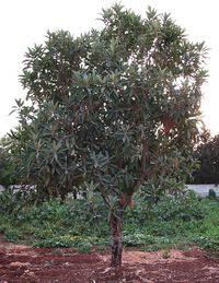 Eriobotrya japonica (Syria).jpg