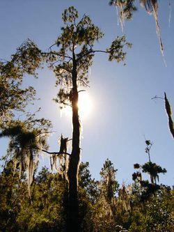 Pinus occidentalis.jpg