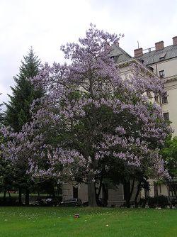 Paulownia tomentosa1a.JPG