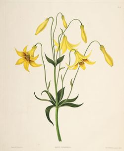 Lilium canadense (lit).jpg